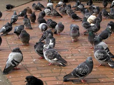 Nuisance Birds