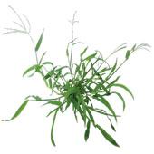 weed-bermuda