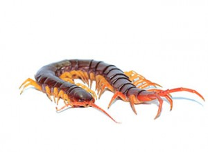 http://www.dreamstime.com/royalty-free-stock-images-brown-centipede-closeup-one-white-background-image35965589
