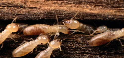 termites in arizona