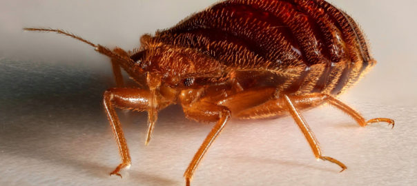 bed bug control tucson