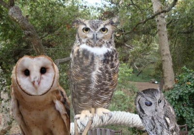 Owls in Arizona – Who's Who among the Hooters
