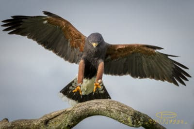Harris-Hawk-Phil-Fiddes