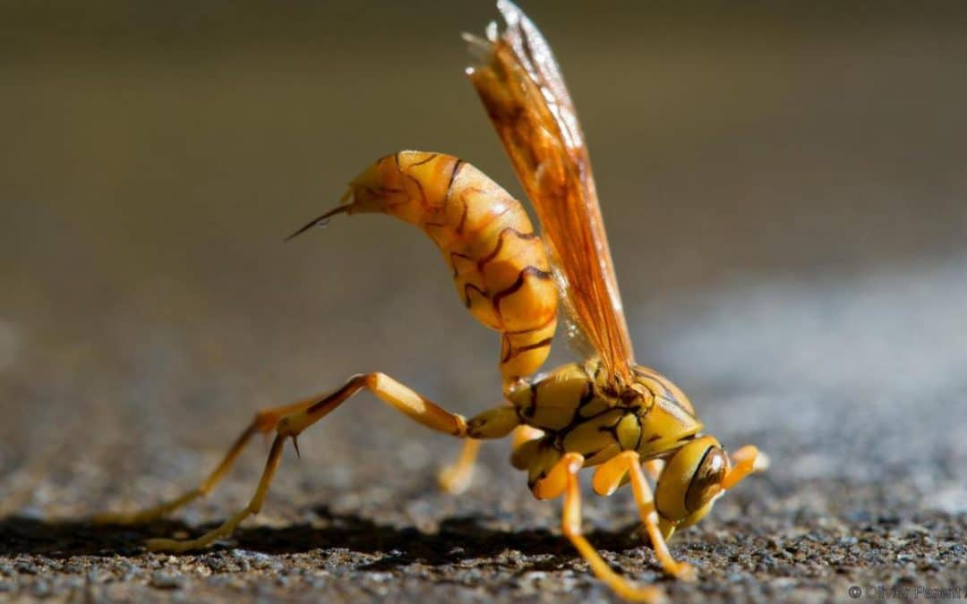 Six Tips To Avoid Wasp Stings In Arizona