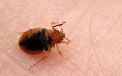 Bed Bugs on the Rise in Tucson