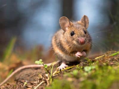 pack rat control tucson