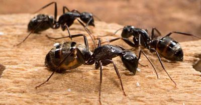 carpenter ants tucson pest control