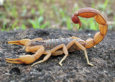 Arizona Scorpion: Nineteen Facts You Never Knew