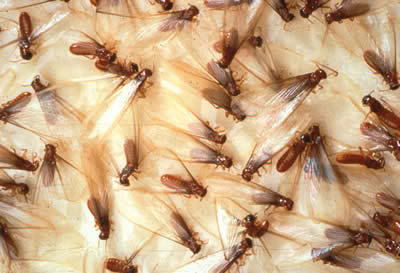 AZ Homeowner's Worst Nightmare Termites: Are They Destroying Your House?
