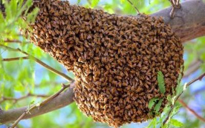 Avoid The Sting: Your Guide To Surviving A Bee Swarm in Arizona
