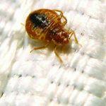 bed bug tucson