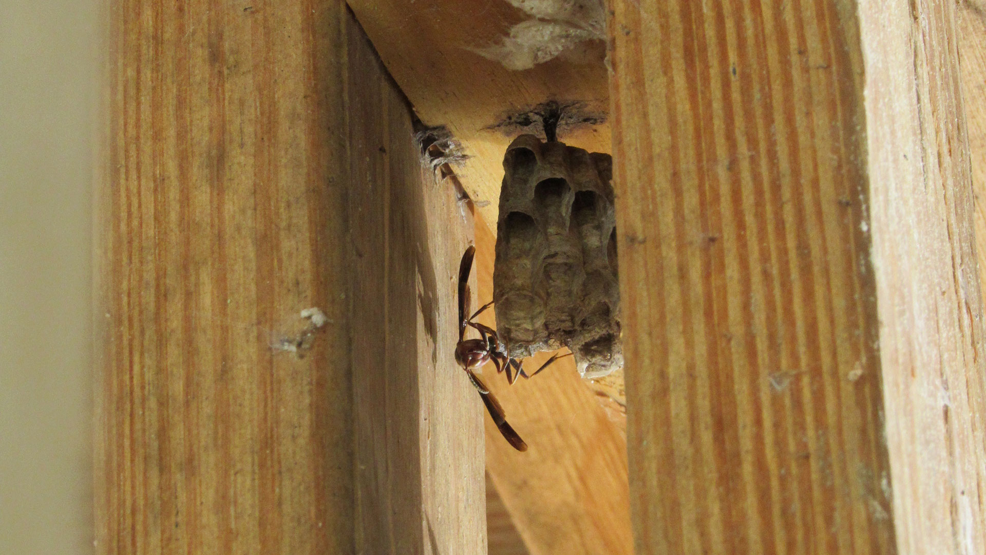 Wasp Removal