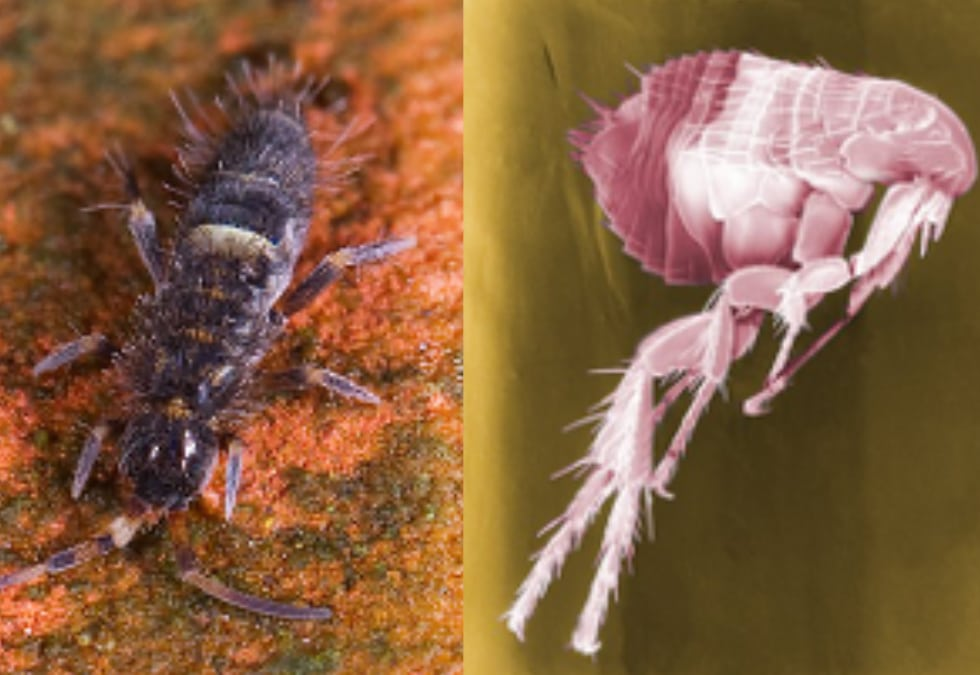 Is it a springtail or a flea?