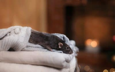 What Kinds of Rats and Mice Get Into Your House