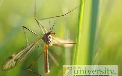 Difference between crane fly and mosquito